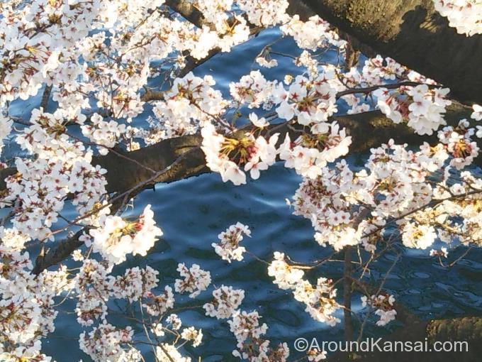 源八橋から撮影、桜の枝が手の届くところに