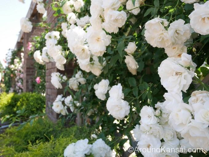 アンティークなレンガに囲まれて咲く白バラ