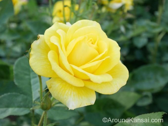 黄色い遅咲きのバラ「伊豆の踊子」