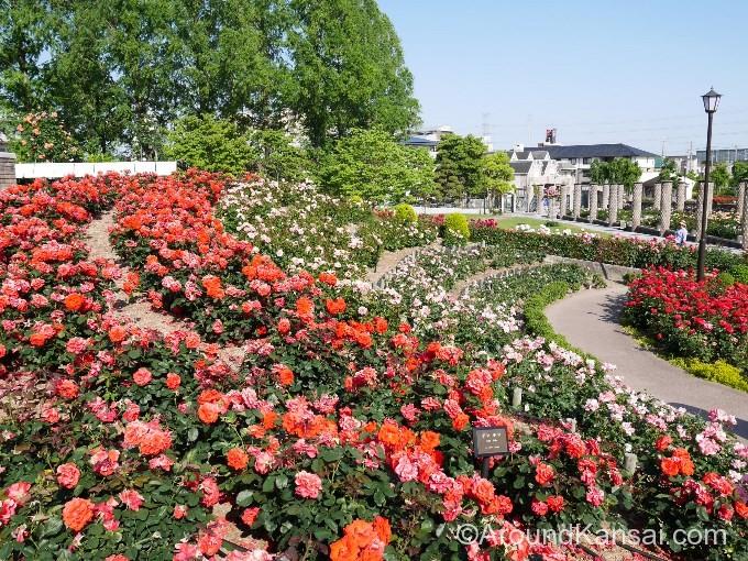 荒牧バラ公園にはたくさんのバラが咲いています