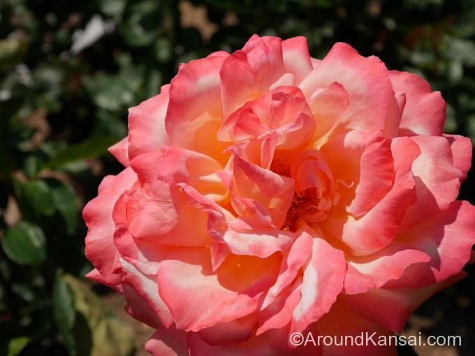 花びらが華やかな「夢想」
