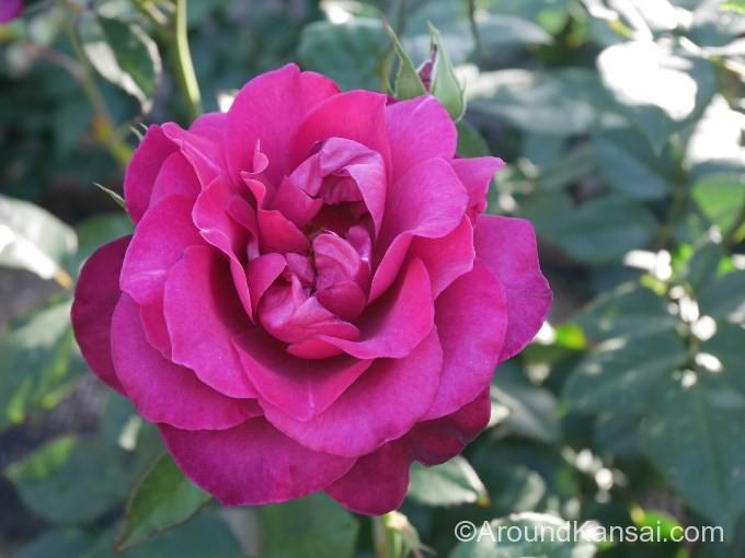 紫色のバラ「イントゥリーグ」