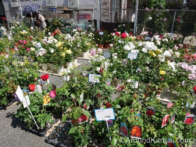 売店にはバラの苗木もたくさんあります