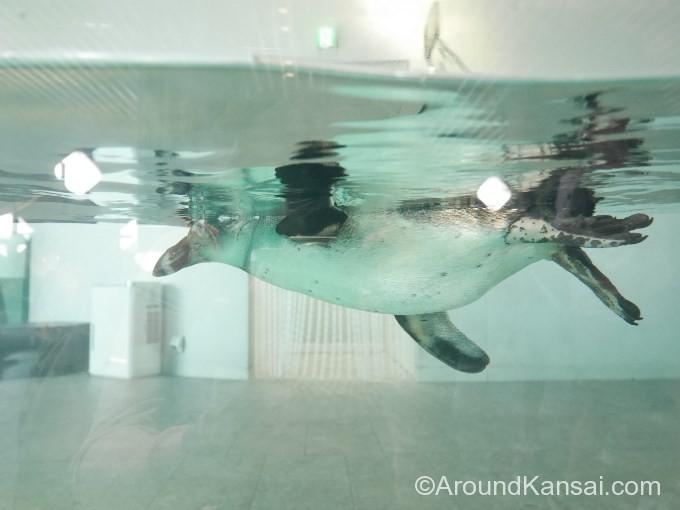 ケープペンギンの泳ぐ様子も見られます