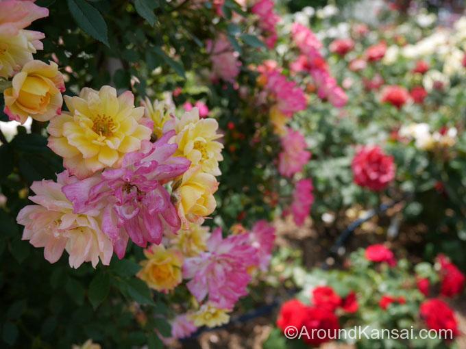 手前は「ベビーマスケラード」咲きはじめから終わりまで色が変わる、めずらしいバラです