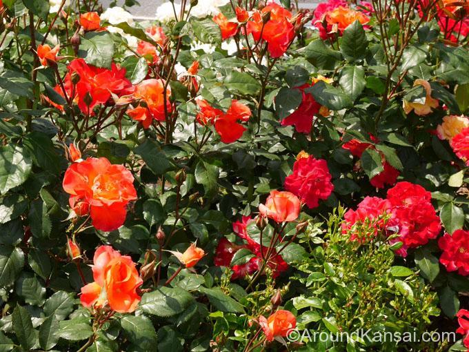 「プリンセス・ミチコ」は皇太子妃だった美智子さまに捧げられたバラです
