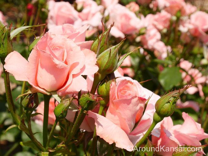 「プリンセス・アイコ」愛子さまのご誕生を祝して名づけられたバラです